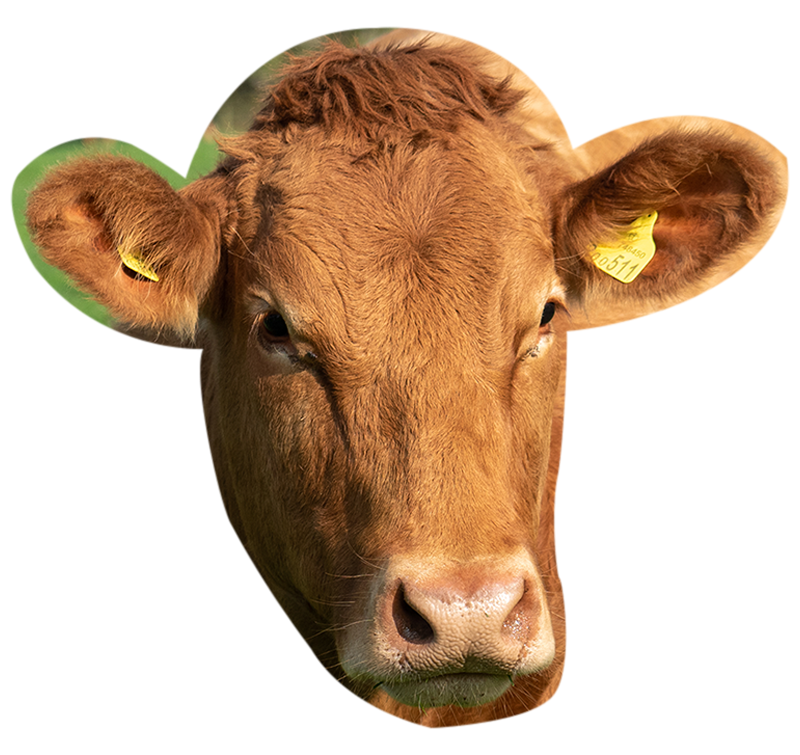 Beef and Bees - a young heifer