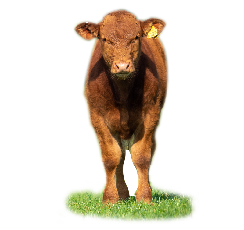 Beef and Bees - a young calf