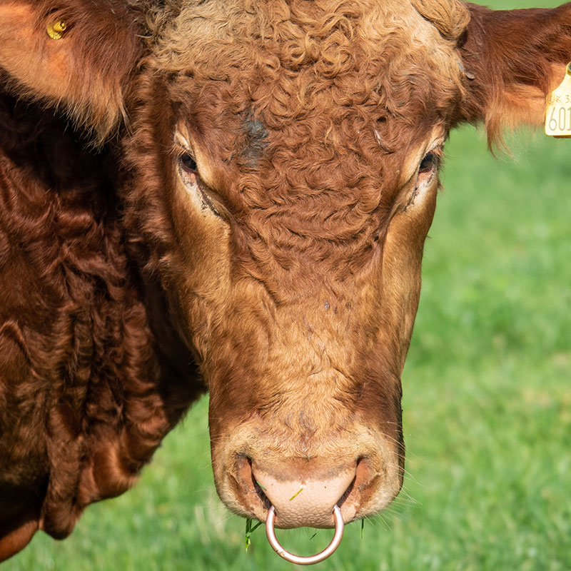 Beef and Bees - A handsome bull