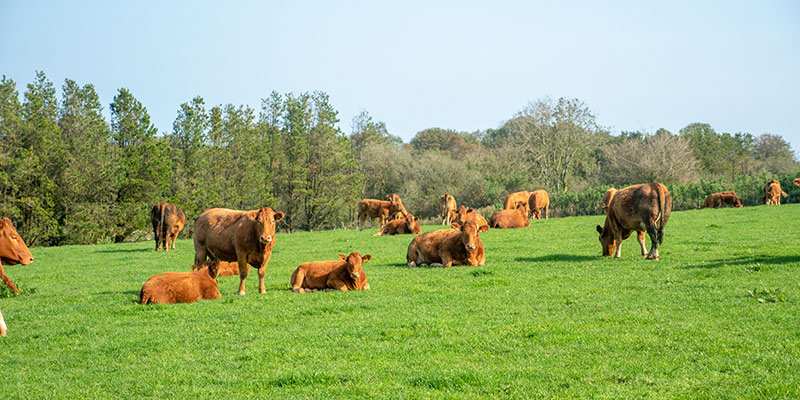 Beef and Bees - The herd of South Devon Cattle